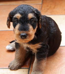 Airedale_pup