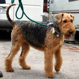 airedale3