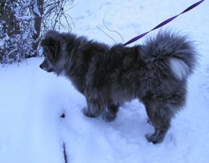 Akita-Long-Fur