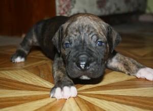 alano-pup