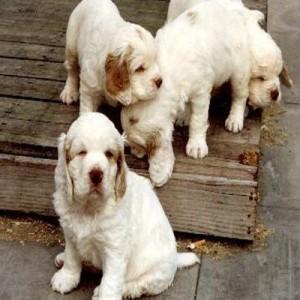 Alpine-Spaniel-puppies