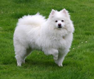 American_Eskimo_Dog_1