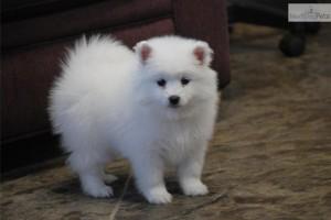 american-eskimo-dog-puppy1