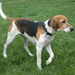 American Foxhound1
