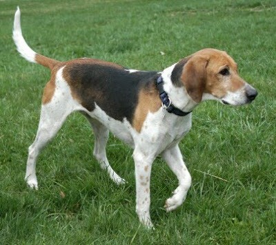foxhound terrier american foxhound doginfo411 com 9647