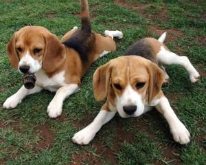 American-foxhound-pups