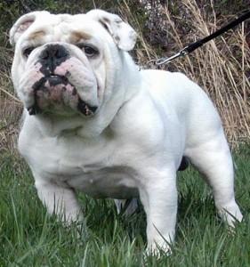 Bulldog12