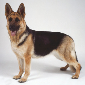 German Shepherd1