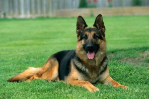 German-Shepherds4