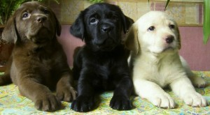Labrador-Retriever-pups1