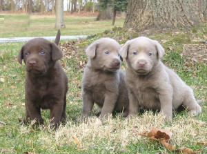 Labrador-Retriever-pups2