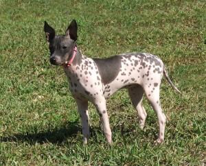 american-hairless-terrier1