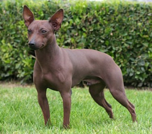 american-hairless-terrier2