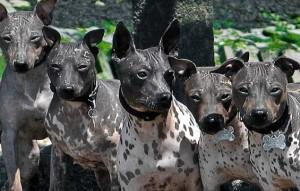 american-hairless-terrier3