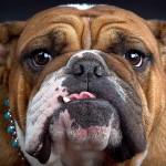 bulldog10