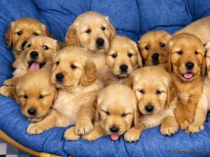 golden_retriever_pups1
