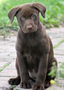 labrador_retriever_2