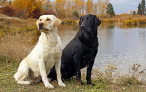 labrador_retrievers_1