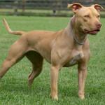 american-pit-bull-terrier2